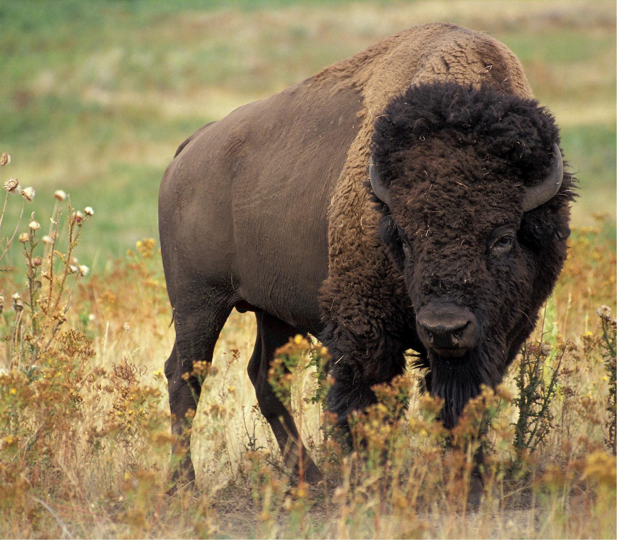 le bison est prêt à attaquer