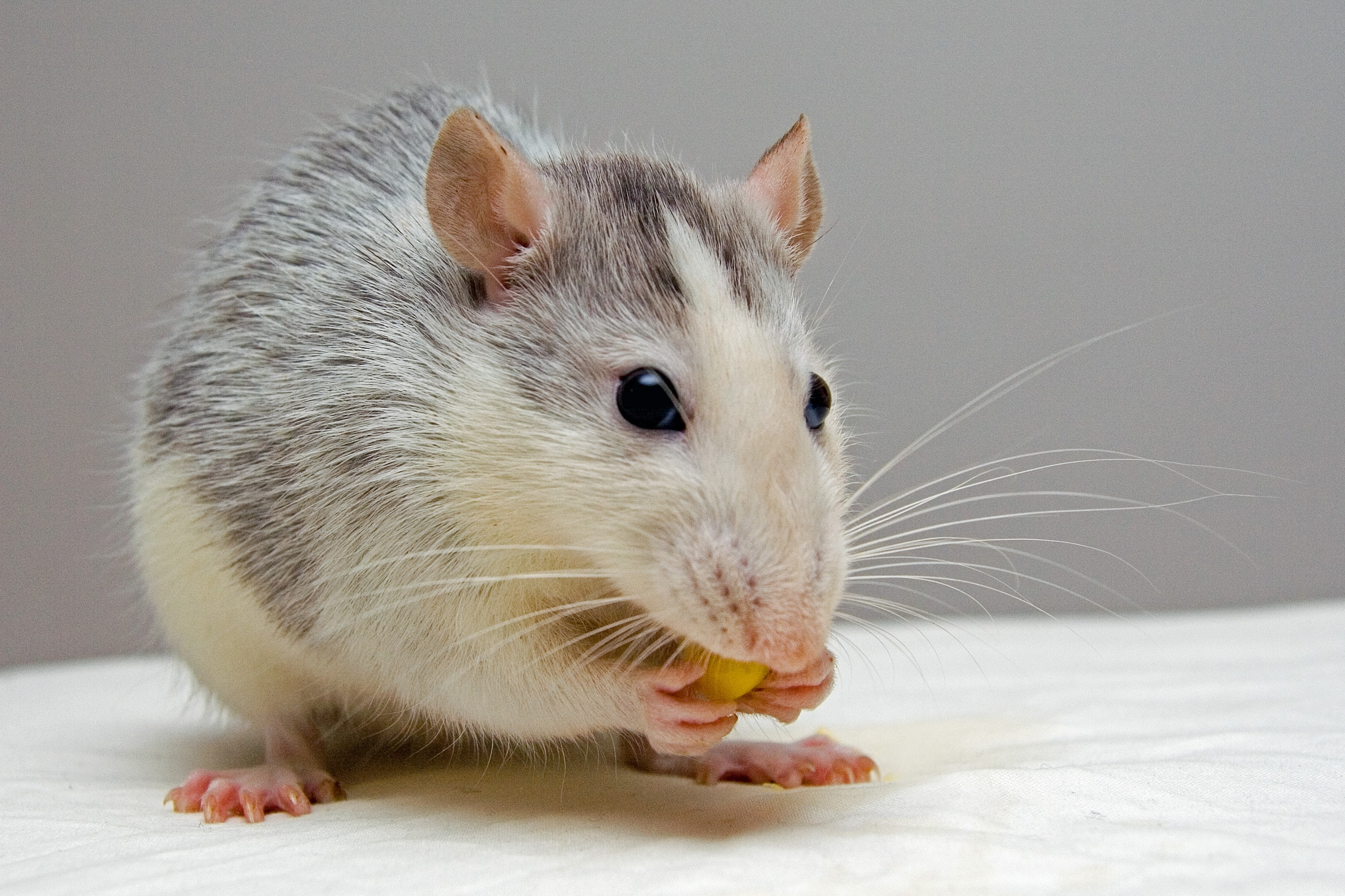un rat se nourrit
