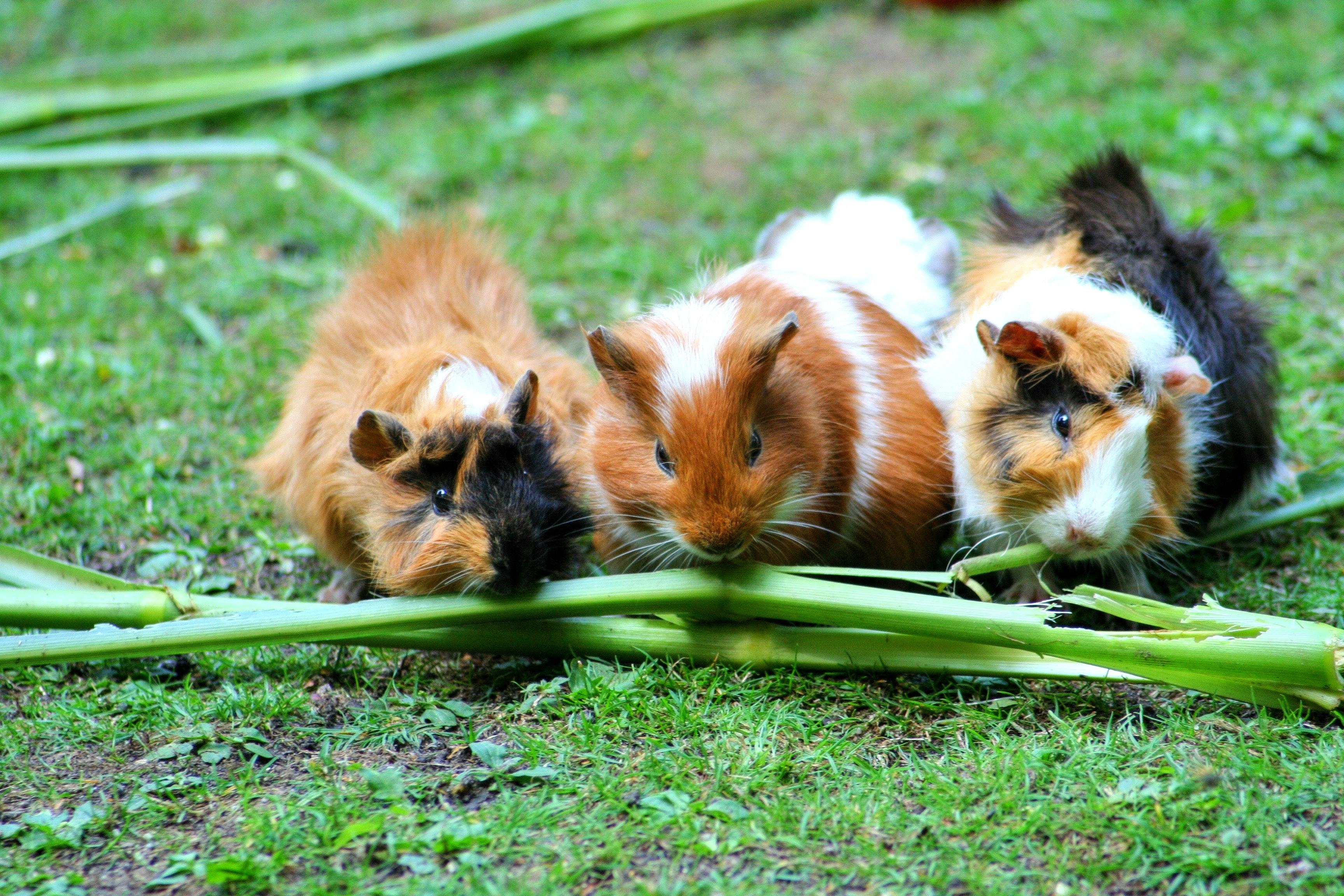 des cochons d'inde se reposent