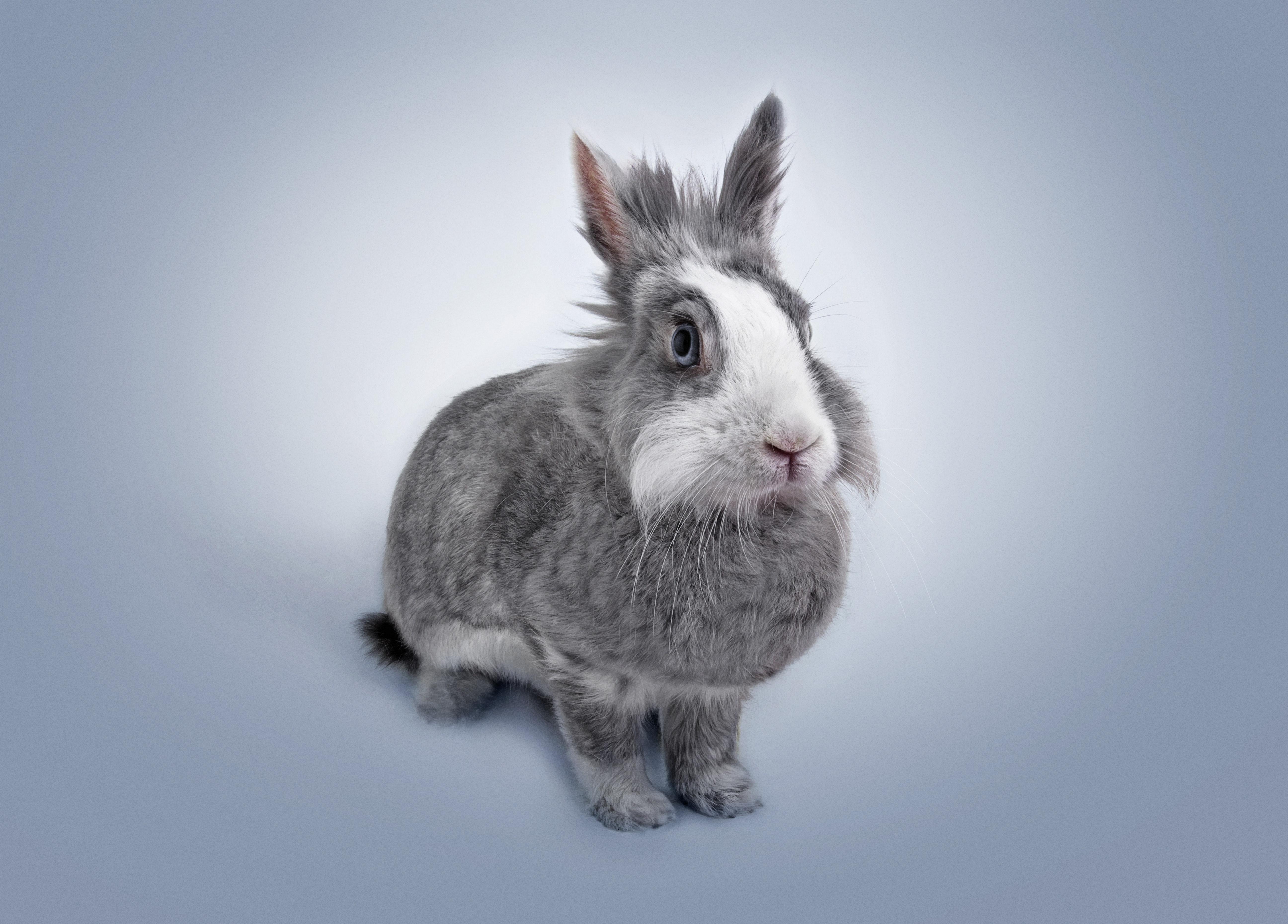 un lapin nain se fait prendre en photo