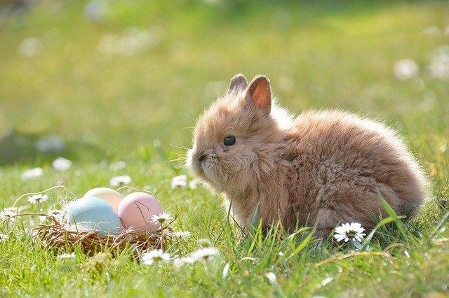 un lapin est présent lors d'une chasse aux œufs