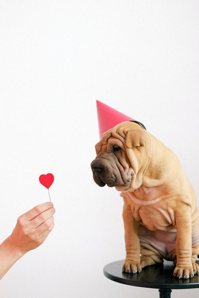 un chien fête son anniversaire